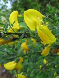 Cytisus scoparius Flickr.jpg