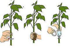 Fichier:Marcottage aerien jardins-plantes.jpg